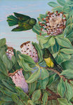 435. Protea and Golden-breasted Cuckoo, of South Africa. Postcards, Greetings Cards, Art Prints, Canvas, Framed Pictures, T-shirts & Wall Art by Marianne North
