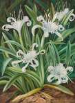 463. An Asiatic Pancratium, colonised in the Seychelles. botanical print by Marianne North