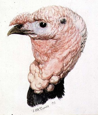 Turkey, from The Farnley Book of Birds, c. 1816 by Joseph Mallord William Turner - print