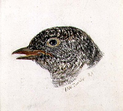 Cuckoo, from The Farnley Book of Birds, c.1816 by Joseph Mallord William Turner - print