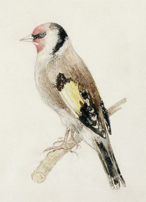 Goldfinch, from The Farnley Book of Birds, c.1816 by Joseph Mallord William Turner - print