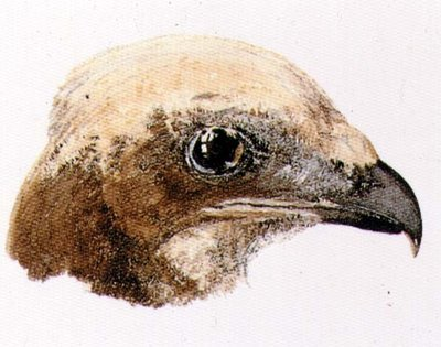 Moor Hawk, from The Farnley Book of Birds, c.1816 by Joseph Mallord William Turner - print