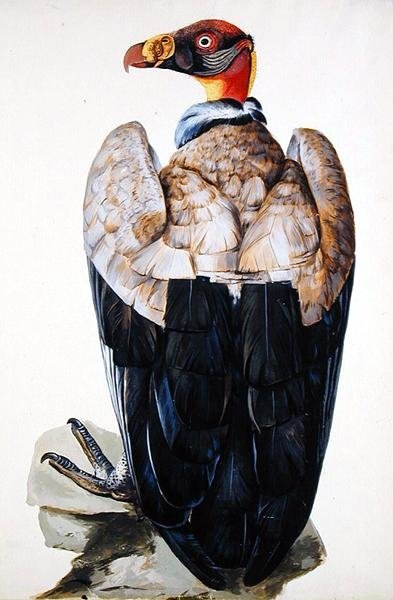 A Vulture by Charles Collins - print