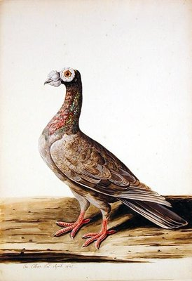 A Woodgrouse, Hen, 1741 by Charles Collins - print