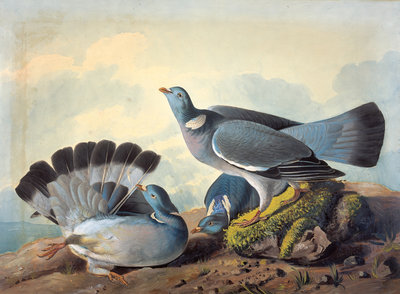 Rock Pigeons Fine Art Print by John James Audubon