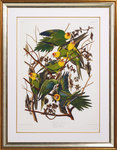 The Carolina parrot by John James Audubon - print