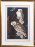 The snowy owl by John James Audubon - print