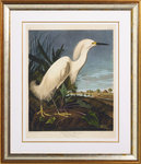 The snowy heron by John James Audubon - print