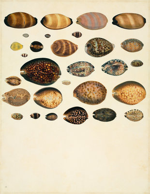 Molluscs Fine Art Print by John Reeves