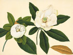 Magnolia by John Reeves - print