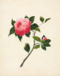 Pink Camellia by John Reeves - print