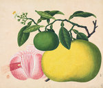 Grapefruit by John Reeves - print