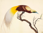 Greater Bird of Paradise Fine Art Print by John Reeves