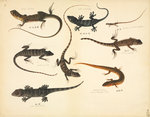 Lizards by John Reeves - print
