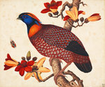 Temminck's tragopan by John Reeves - print