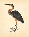 Purple heron by John Reeves - print