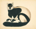 Ruffed lemur by John Reeves - print