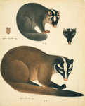 Chinese ferret badger by John Reeves - print