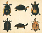 Turtles by John Reeves - print