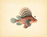 Red lionfish by John Reeves - print