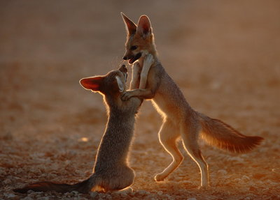 Cape fox cubs at play Fine Art Print by Helmut Niebuhr