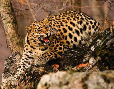 Lure of the leopard by Andrew Harrington - print