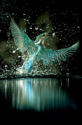 Kingfisher feeding Fine Art Print by Karman Blazs & Novak Laszlo