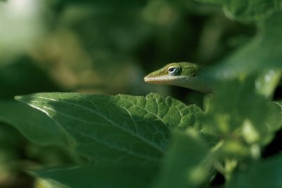 Green anole Wall Art & Canvas Prints by Gabby Salazar