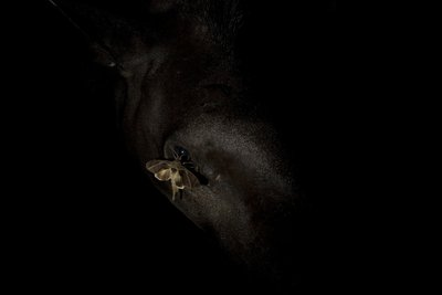 In the eye of a tapir Fine Art Print by David Herasimtschuk
