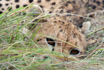 The watchful cheetah Fine Art Print by Leon Petrinos