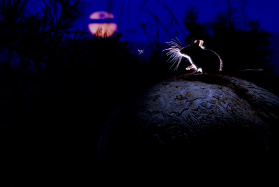 The mouse, the moon and the mosquito Fine Art Print by Alex Badyaev