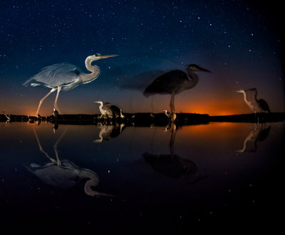 Herons in time and space Fine Art Print by Bence Mate