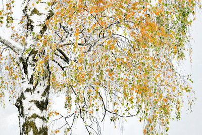 Golden birch Fine Art Print by Herfried Marek
