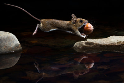 Yellow-necked mouse Fine Art Print by Carsten Braun
