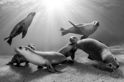 Australian sea lion pups Fine Art Print by Michael Patrick O'Neill