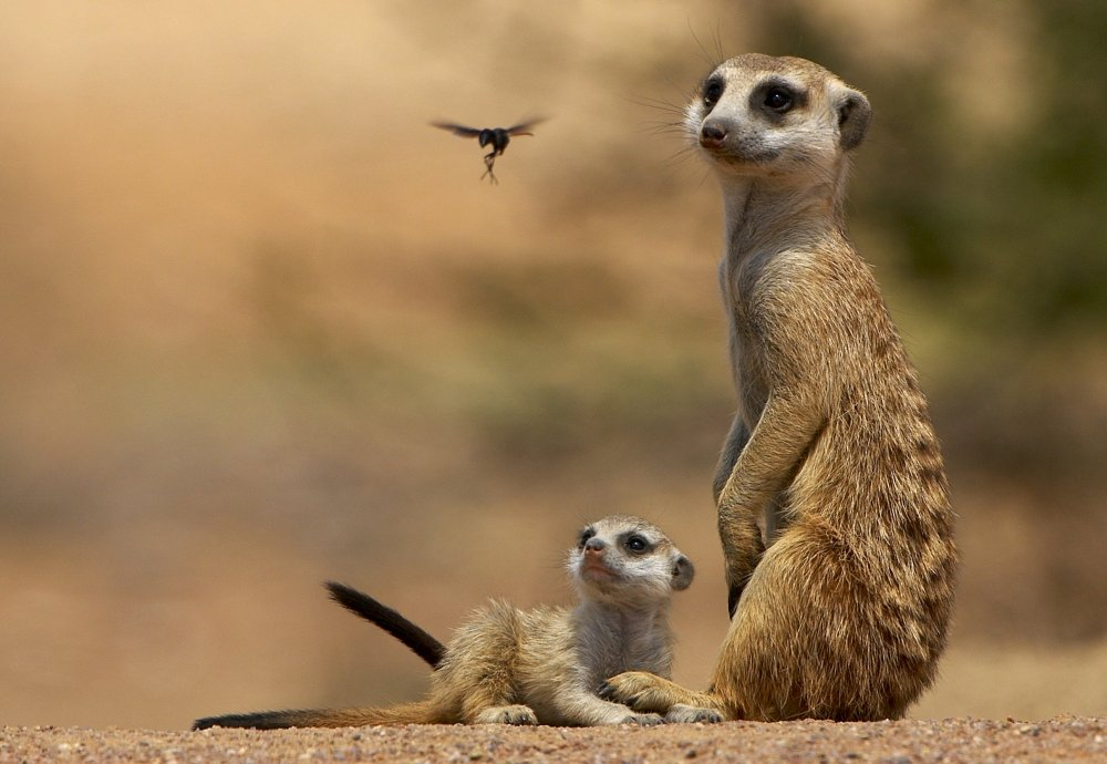 Add to wishlist Meerkat Pictures To Print