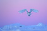 Snowy owl stoop Fine Art Print by David Tipling