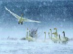 Snow swans Wall Art & Canvas Prints by Safie Al Khaffaf