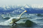 Whooper lift-off Wall Art & Canvas Prints by Safie Al Khaffaf