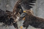Clash of eagles Fine Art Print by Safie Al Khaffaf