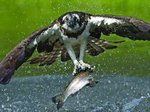 Osprey snatch by Dan Mead - print
