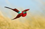 Bee-eater ballet Wall Art & Canvas Prints by Safie Al Khaffaf