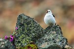 Snow bunting songster Wall Art & Canvas Prints by Safie Al Khaffaf