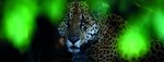 The look of a jaguar by Andrew Harrington - print