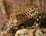 Lure of the leopard