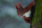 Squirrel mouthful by Andrew Harrington - print