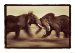 Clash of the bulls by Martyn Colbeck - print
