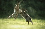 Boxing hares by Manfred Danegger - print