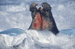Clash of elephant seals by Tim Fitzharris - print