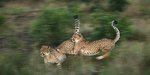 Cheetahs playing by Gerald Hinde - print